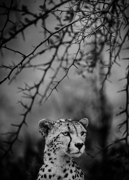 Cheetah under the acacia thorns, Kenya 2015 © Laurent Baheux