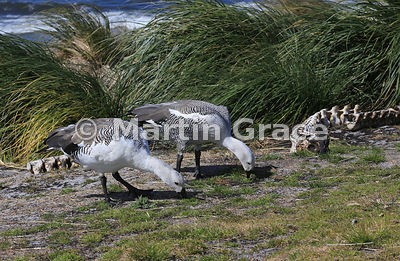 Two male Upland Geese (Chloephaga picta leucoptera) grazing by the vertebrae of a Sea Lion, with Tussac plants (Poa flabellata) behind, Sea Lion Island, Falkland Islands