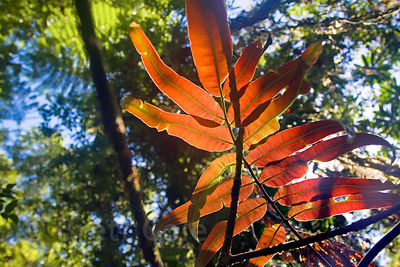 Red leaves of a fern (sp.), Las Nubes, Costa Rica