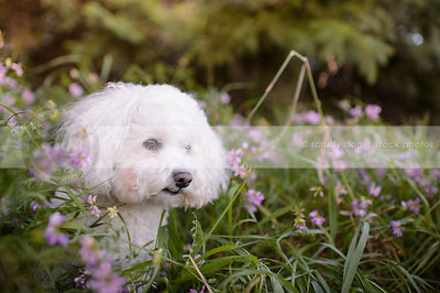 little white fluffy dog hiding in deep flowers