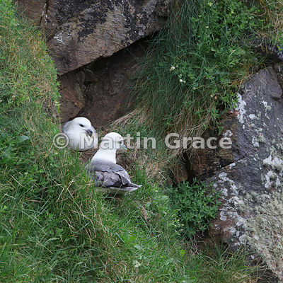 Northern Fulmar (Fulmarus glacialis) sitting next to its mate that is incubating their egg, Burravoe, Yell, Shetland