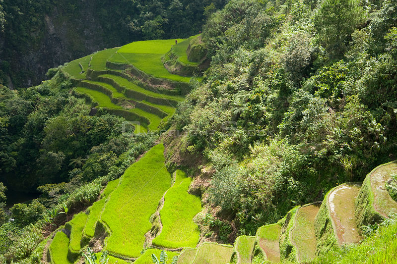 Aerial view of Rice paddy fields (Oryza sp.) on the Banaue Rice Terraces, Philippines.  UNESCO World Heritage Site 2008