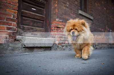 pretty red chow dog walking by brick wall in urban alley
