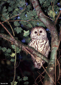 November and December - Barred Owl.
