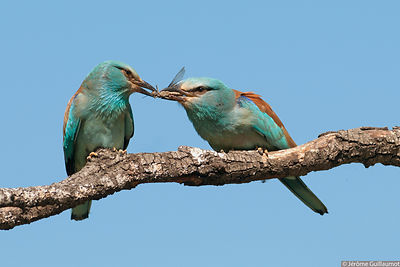 Courtship feeding by European Roller - Coracias garruls photos