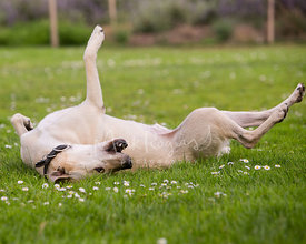 Labrador retriever mix dog rolling in grass