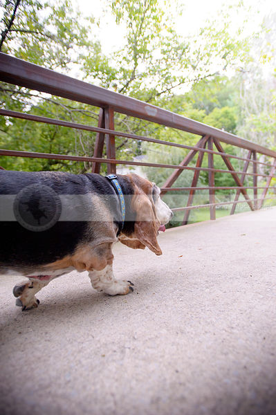 senior basset hound dog from behind walking alone on bridge