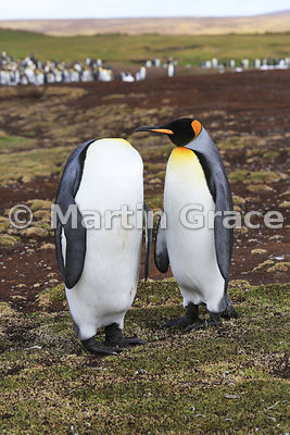 I've heard of headless chickens... Perhaps this King Penguin (Aptenodytes patagonicus) is wondering where its mate's head has gone! Volunteer Point, East Falkland, Falkland Islands