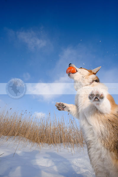 short corgi dog catching ball in winter setting under sky