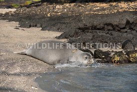 hawaiian_monk_seal_big_island_02062015-93