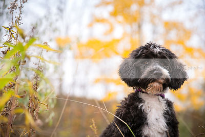 portrait of serious puppy sitting in autumn