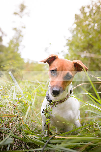 adorable jack russell sitting in grasses staring at camera