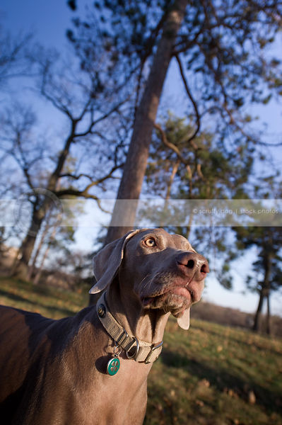 portrait of grey weimaraner dog looking skyward in park with trees and sky
