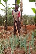 Young boy weeding onions with a hoe. Rwanda