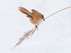 Bearded Tit (Bearded reedling) Panurus biarmicus female feeding on reed seeds in reedbed in North Norfolk in snow February
