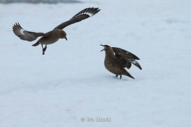 Skuas take a threatening on ice around Petermann Island.