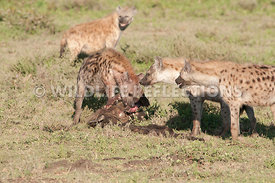 Hyena Group at Kill