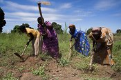 African women in fields cultivating soil with hoes Mbale Uganda Africa