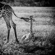 6845-Baby_giraffe_behind_mother_Laurent_Baheux