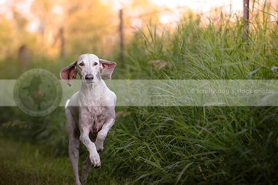 large white hound with floppy ears running in grass