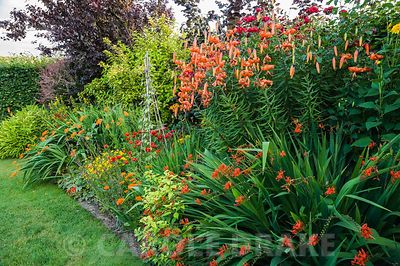 Hot border includes tall orange lily Lilium lancifolium, crocosmias, golden leaved Fuchsia 'Genii' and ladybird poppies, Papaver commutatum 'Ladybird'. The Bay Garden, Camolin, Co Wexford, Ireland
