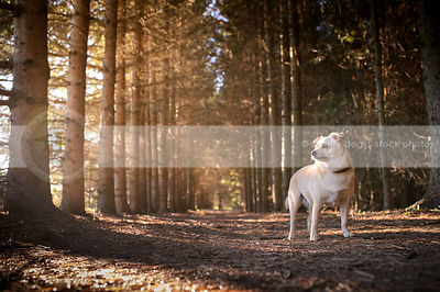 small overweight cream chihuahua standing in tunnel of trees