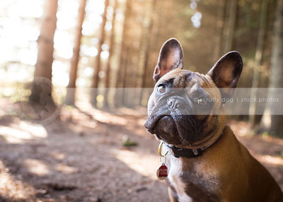 portrait of sweet fawn french bulldog staring from forest