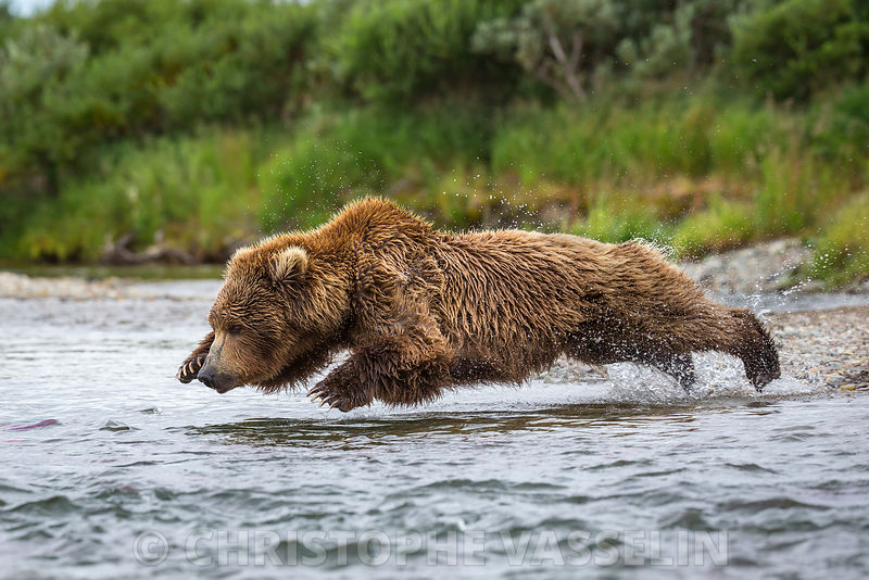 Les Grizzlis de Katmai (Alaska) / Grizzly bears from Katmai (Alaska) photos
