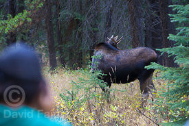 Tourist photographing a young male moose (Alces alces)