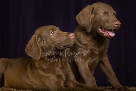 Two Chesapeake Bay Retriever puppies with funny laughing expression