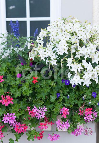 photo de nicotiana alata pelargonium peltatum jardini re de fleurs d 39 t m lange fotoflor. Black Bedroom Furniture Sets. Home Design Ideas