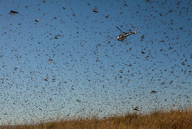 A helicopter of the Food and Agriculture Organization of the United Nations (FAO) flies through millions of Locusts as spreads pesticide to fight against a swarm of locusts threatening to reach Amparihibe village on May 7, 2014 in Tsiroanomandidy , Madagascar. FAO mission is to fight the locust's swarm with an insecticide.