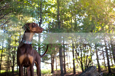 brown and tan dog standing in pine trees