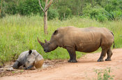 White rhinoceros with young taking a mud bath (Ceratotherium simum), Ziwa Rhino Sanctuary, Uganda