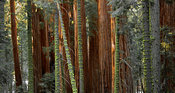 Groupe de sequoias
