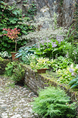 Raised shade bed behind the house planted with hostas, ferns, astelias, cornus and acers. Bosvigo, Truro, Cornwall, UK
