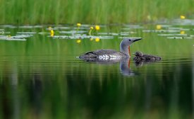 Smålom, Red-throated diver (Gavia stellata)