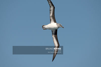 Grey-headed Albatross (Thalassarche chrysostoma)