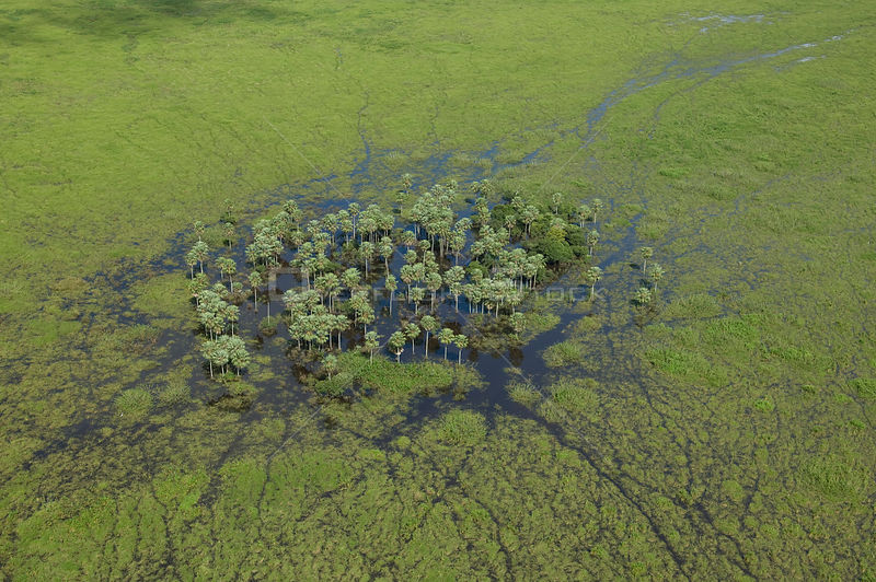 "Aerial view of a stand of ""Caranday"" palm trees(Copernicia alba) South of Trinidad city, Beni Department, Northwestern Bolivia."