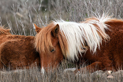 Two wild horse (Equus ferus caballus) yearlings (one year old) rest in strong winds in the wetlands of Sinepuxent Bay, Assateague Island, Maryland