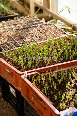 Trays of seedlings in glasshouses at Forde Abbey in April