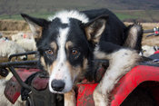 Border collie sheepdog sat on back of quad bike watching sheep.