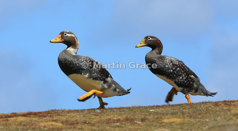 Male (L) and female (R) Falkland Steamer Ducks (Tachyeres brachypterus) on a mission!