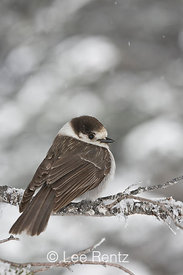 Gray Jay (Perisoreus canadensis) perched on a branch during a snowstorm on Hurricane Ridge, Olympic National Park, Olympic Peninsula, Washington, USA, March, 2009_WA_8087