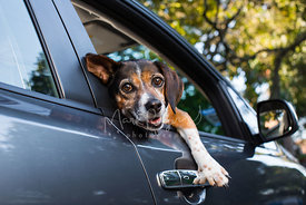 Silly smiling beagle dog resting head on car window sill looking out