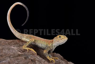 Toad headed agama (Phrynocephalus ssp Xinjiang) photos
