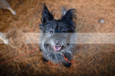 scruffy terrier dog staring up from pine needles