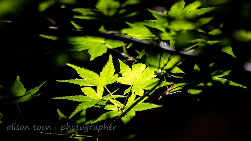 Sunlight and Japanese Maple tree
