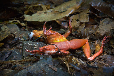 Deceased frog found in place, revealing the vibrant colors on its underside (drb brown on top), Las Nubes, Costa Rica