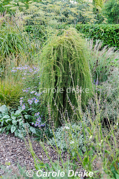 Larix decidua 'Puli' in the gravel garden surrounded by grasses, pulmonaria, bronze fennel and Aster x frikartii 'Monch'. Windy Ridge, Little Wenlock, Shropshire, UK